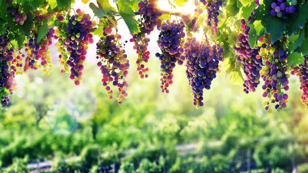 Grape arbor wallpaper
