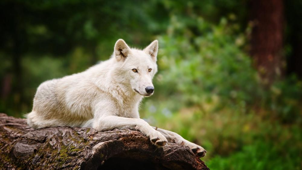 Arctic wolf on a trunk wallpaper