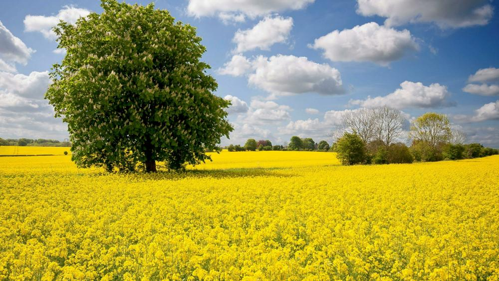 Blooming chestnut tree in the yellow oilseed rape field wallpaper