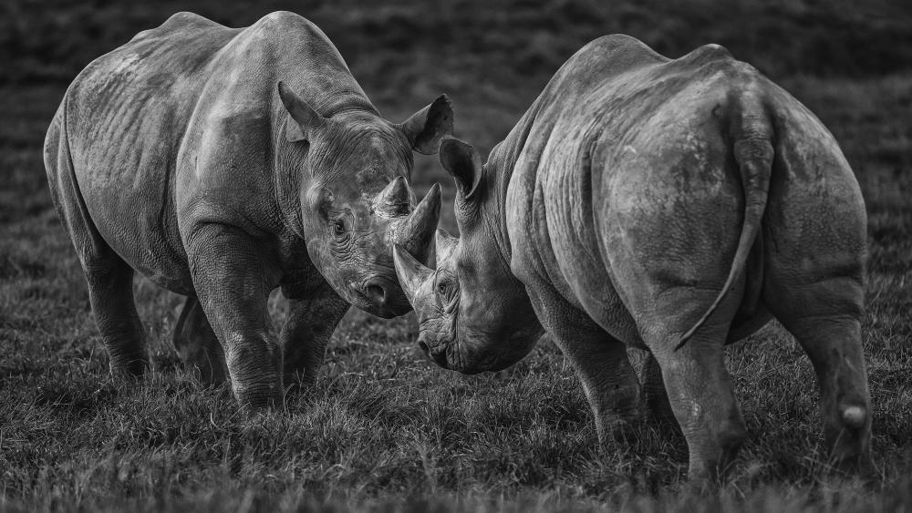 Rhinoceros - Monochrome wildlife photography wallpaper