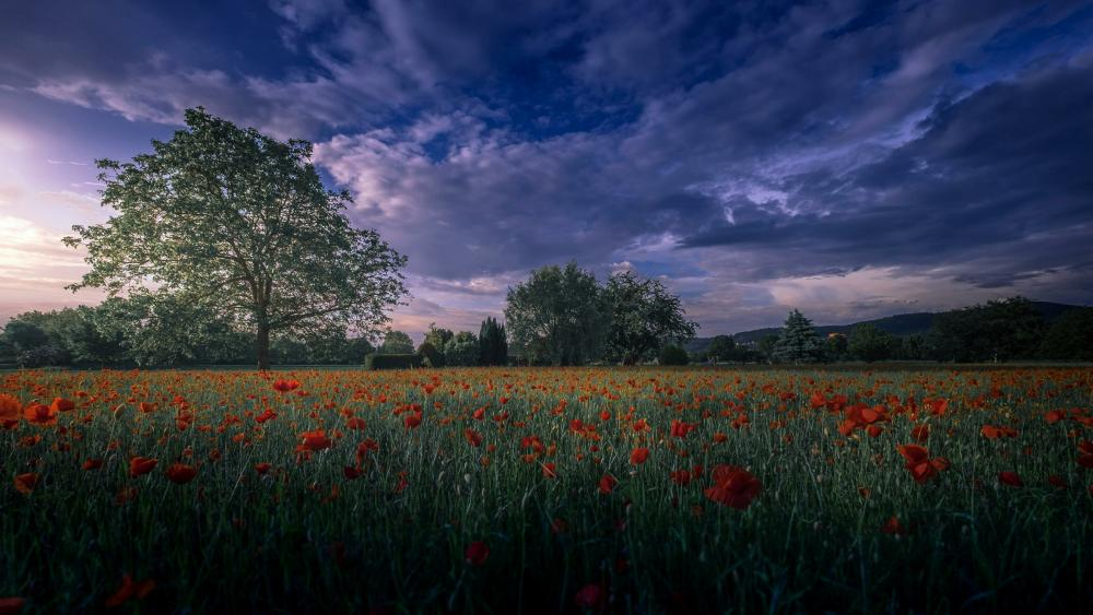 Poppy field at dusk wallpaper