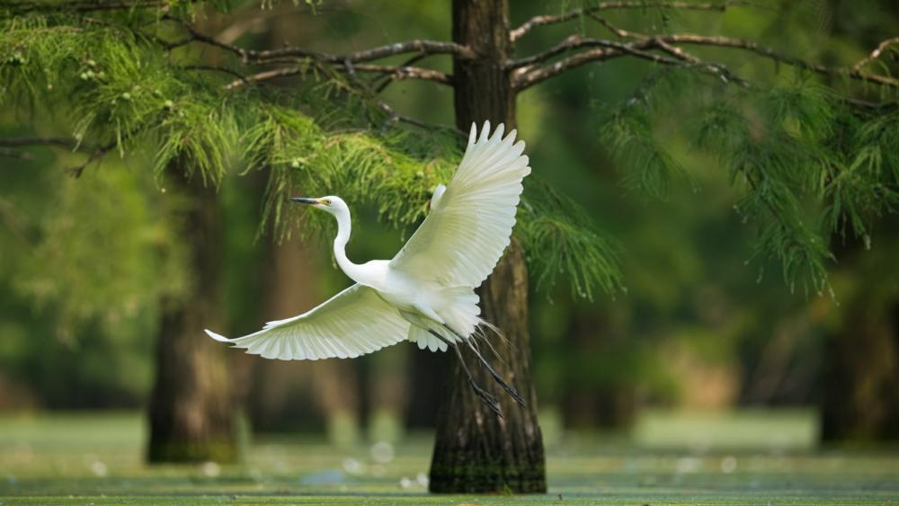 Great Egret wallpaper