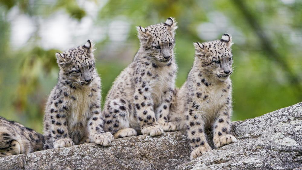 Cute leopards wallpaper