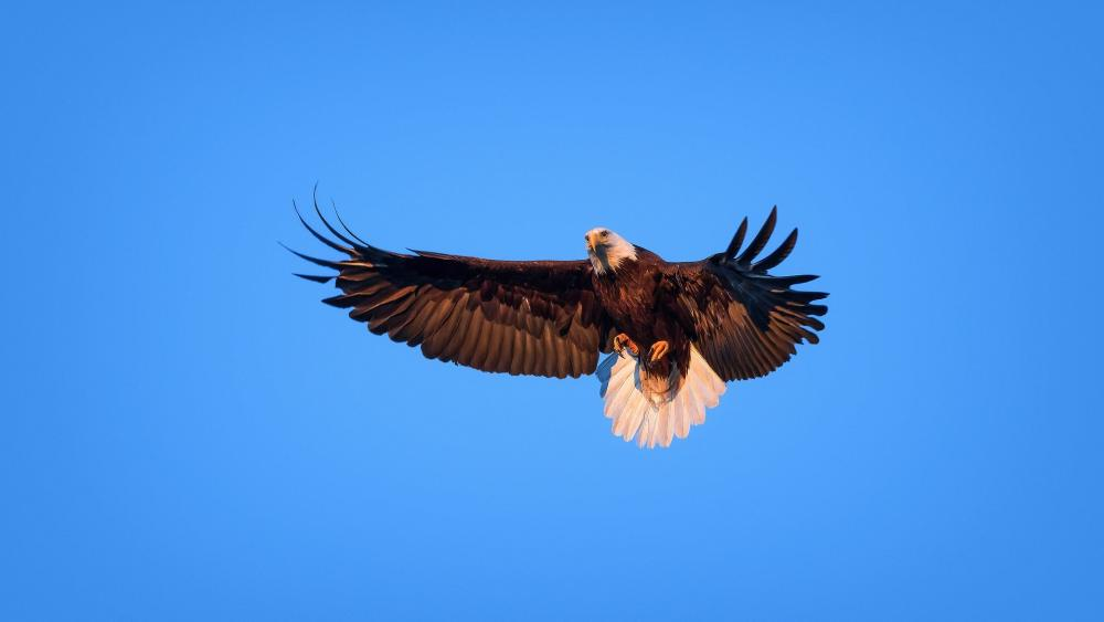 Bald Eagle on the blue sky wallpaper