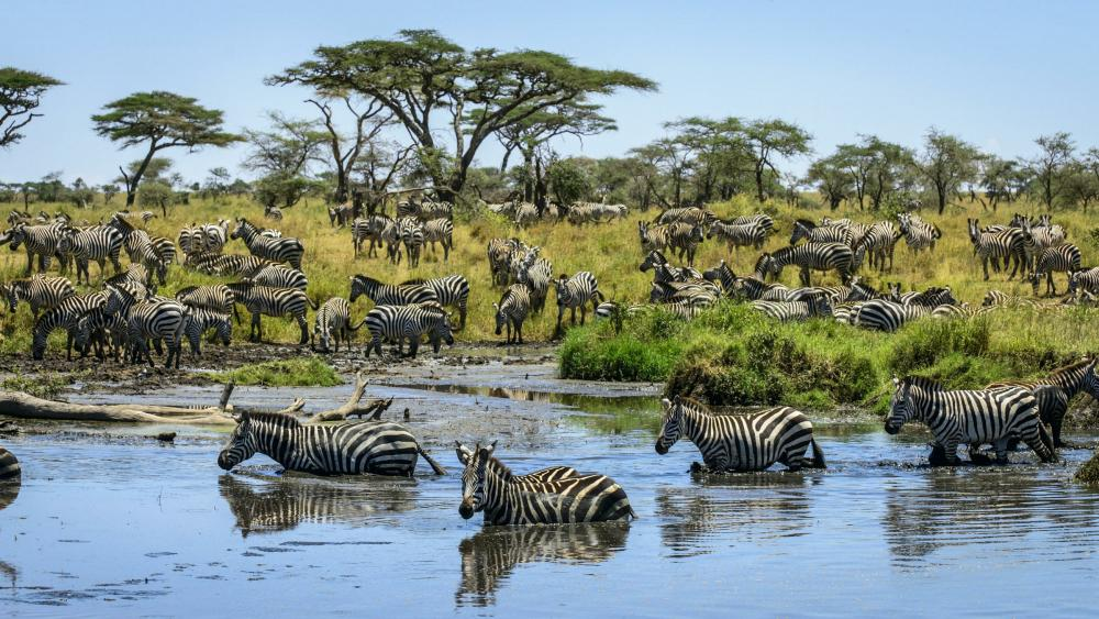 Zebra herd wallpaper