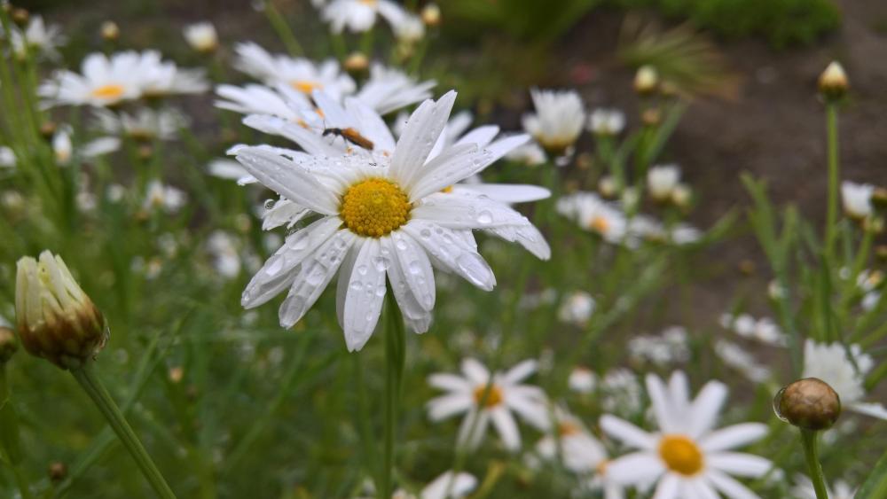 Daisy flowers ? wallpaper