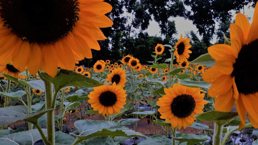 Sunflower theme wallpaper