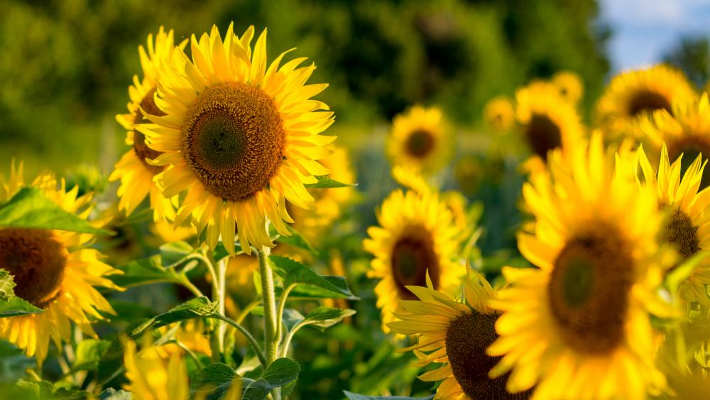Sunflowers ? wallpaper