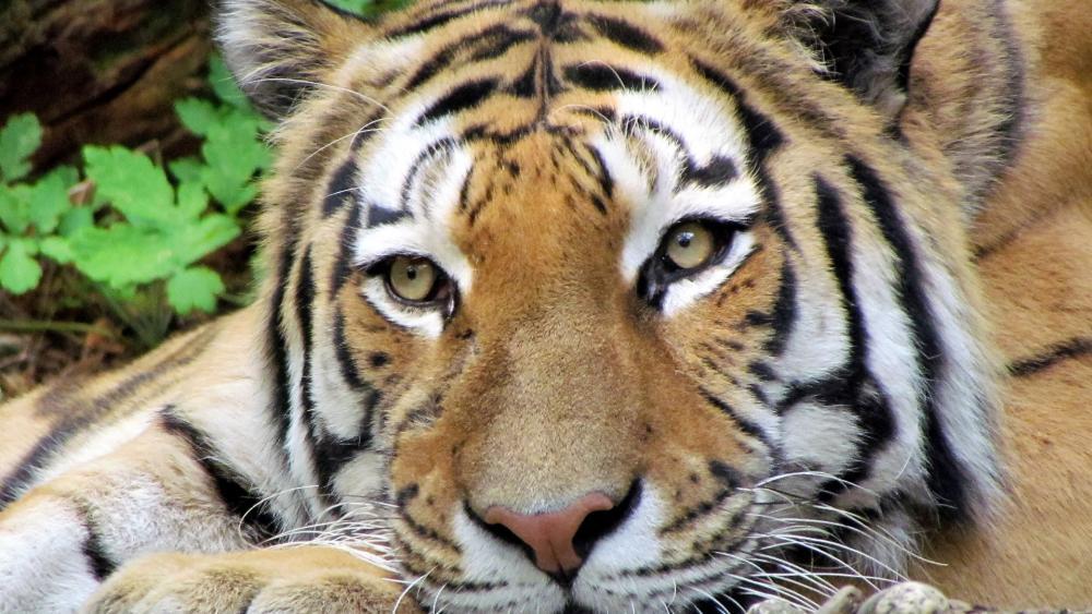 Tiger face ? wallpaper