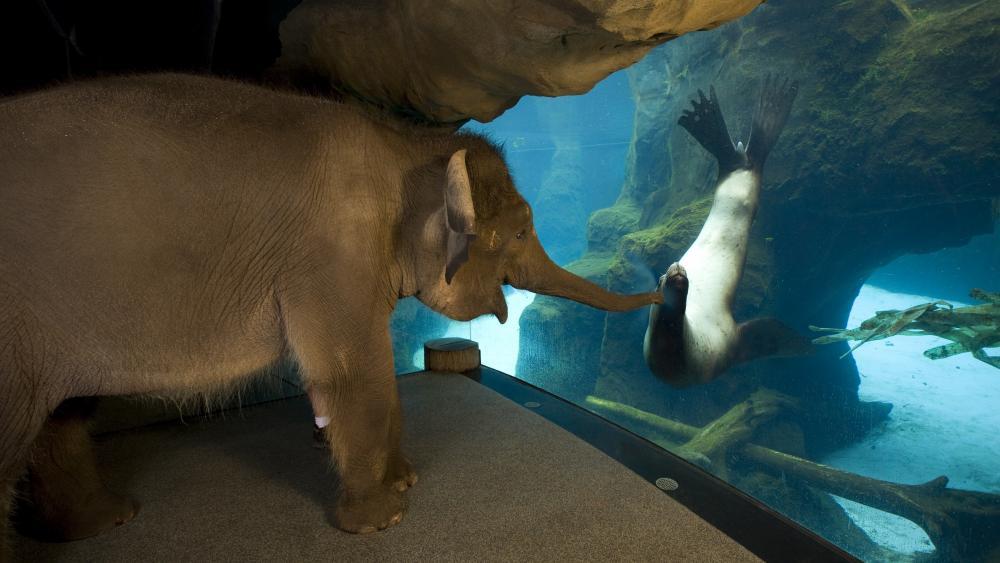 Elephant meets sea lion wallpaper
