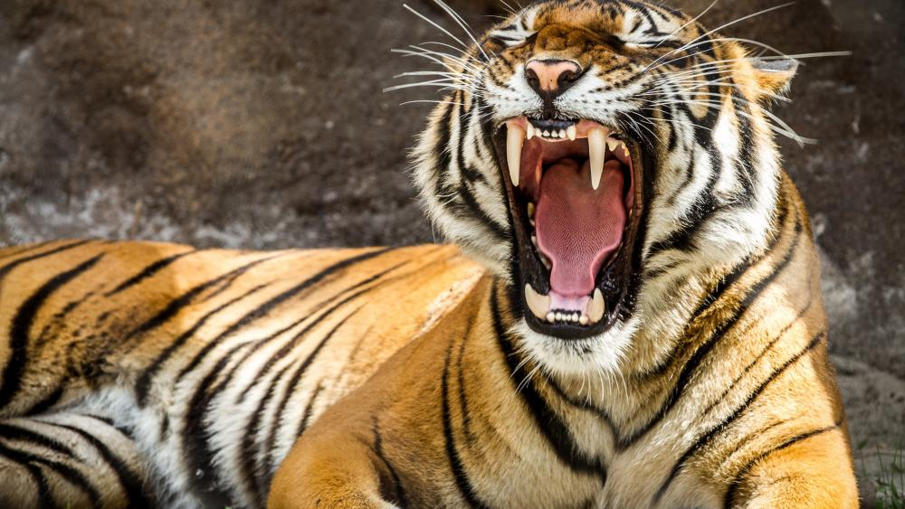 Yawning Tiger wallpaper