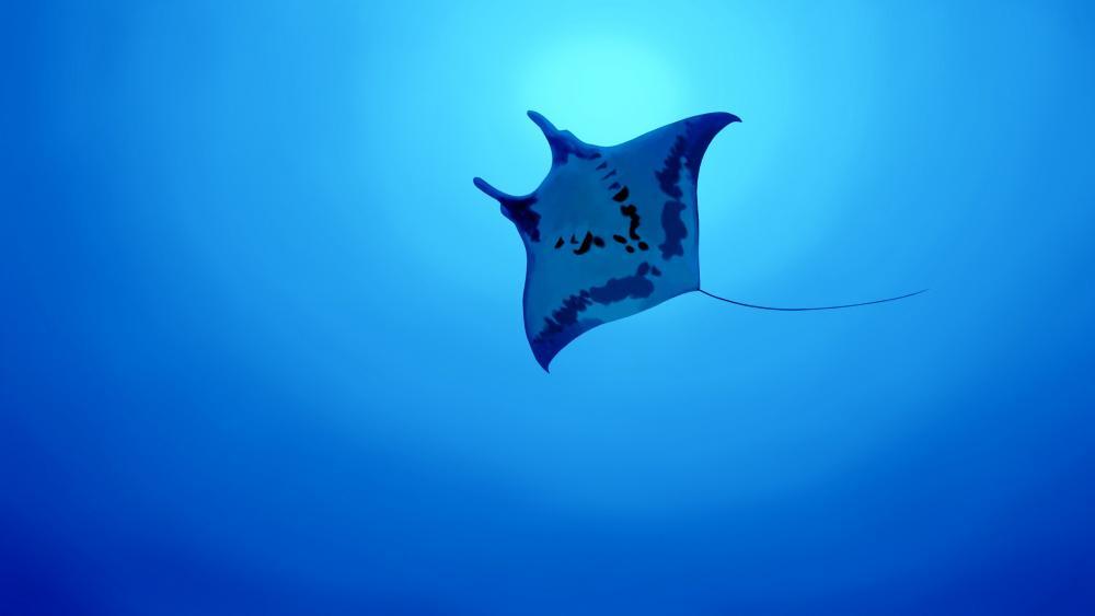 Manta ray wallpaper