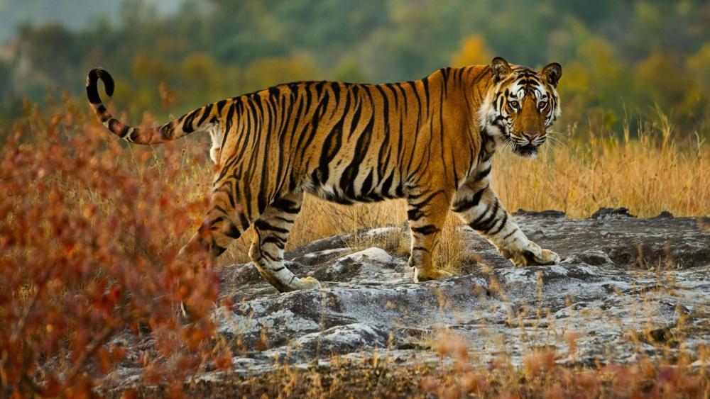 Large tiger wallpaper