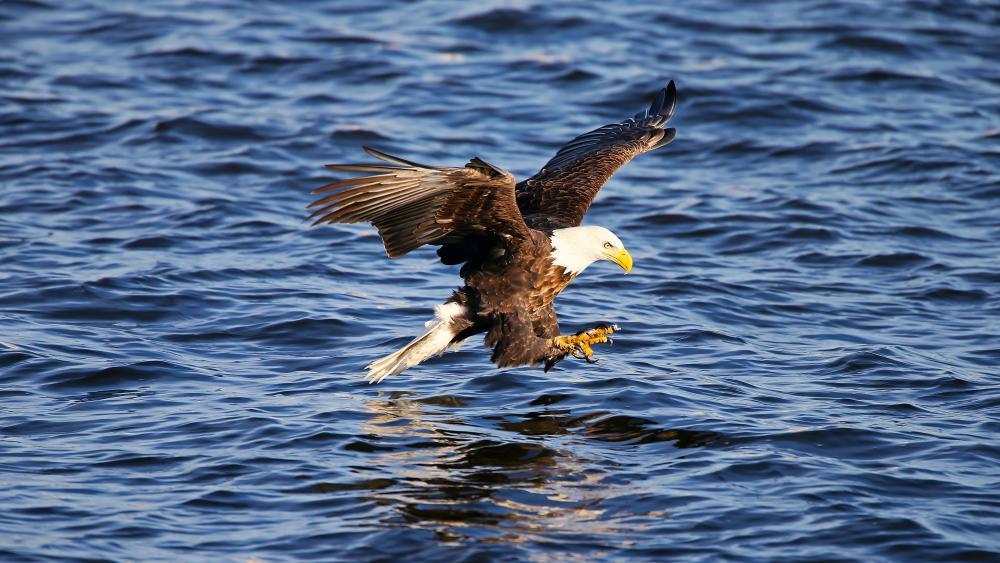 Fishing Eagle wallpaper