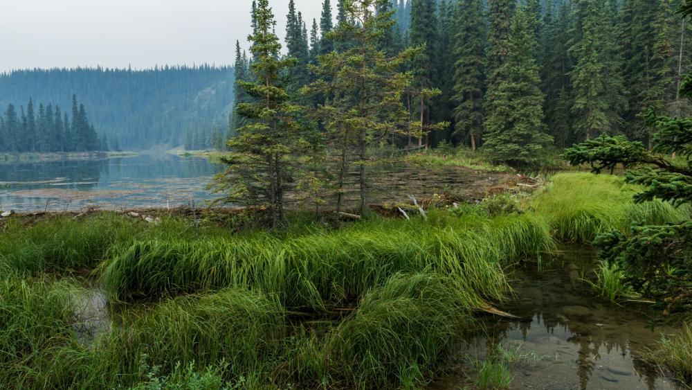 Forest lake wallpaper