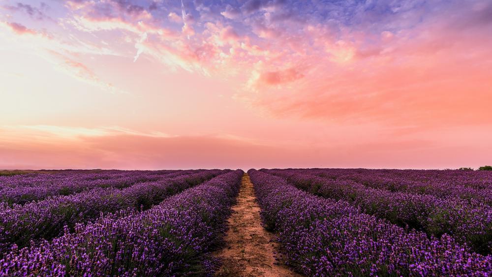 Lavender farm wallpaper
