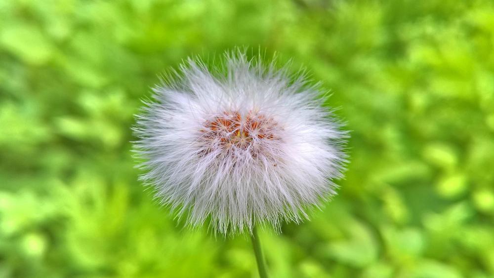 Close up dandelion flower photo wallpaper