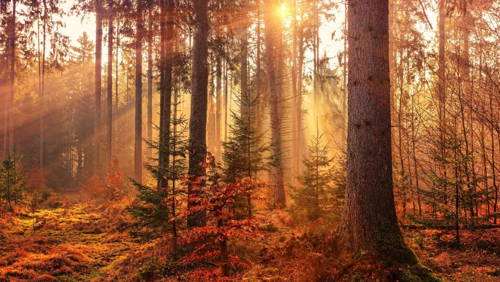 Autumn forest sun rays wallpaper
