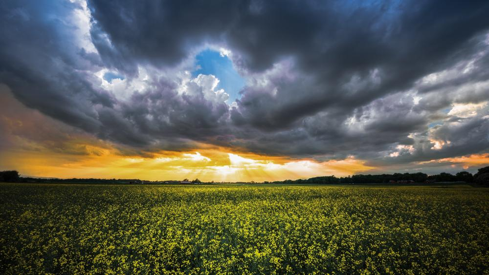 Cloudy canola field wallpaper