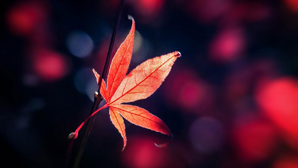 Red Japanese Maple leaf lall wallpaper