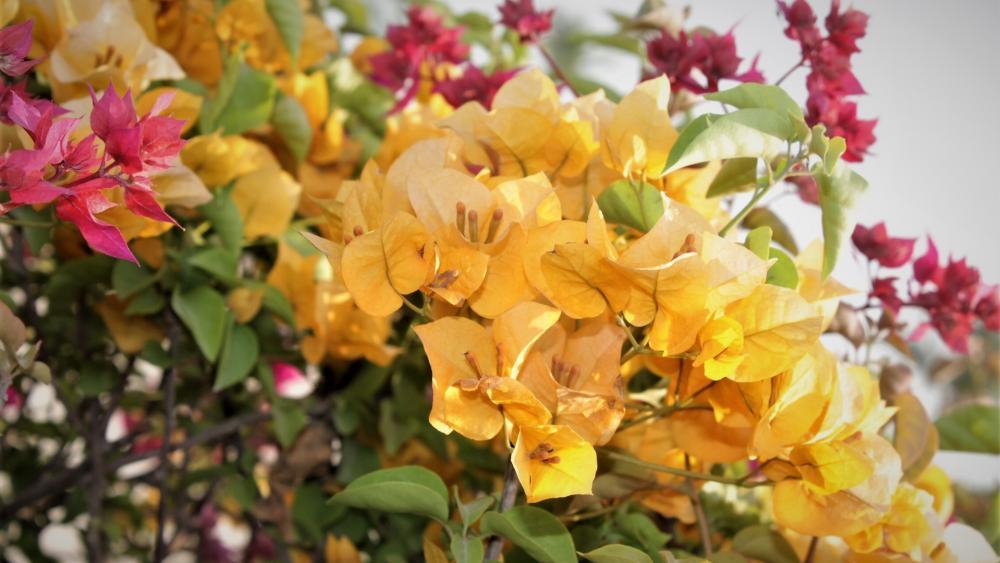 Yellow bougainvillea flower wallpaper
