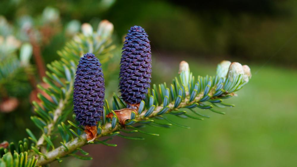 Blue pine cones wallpaper