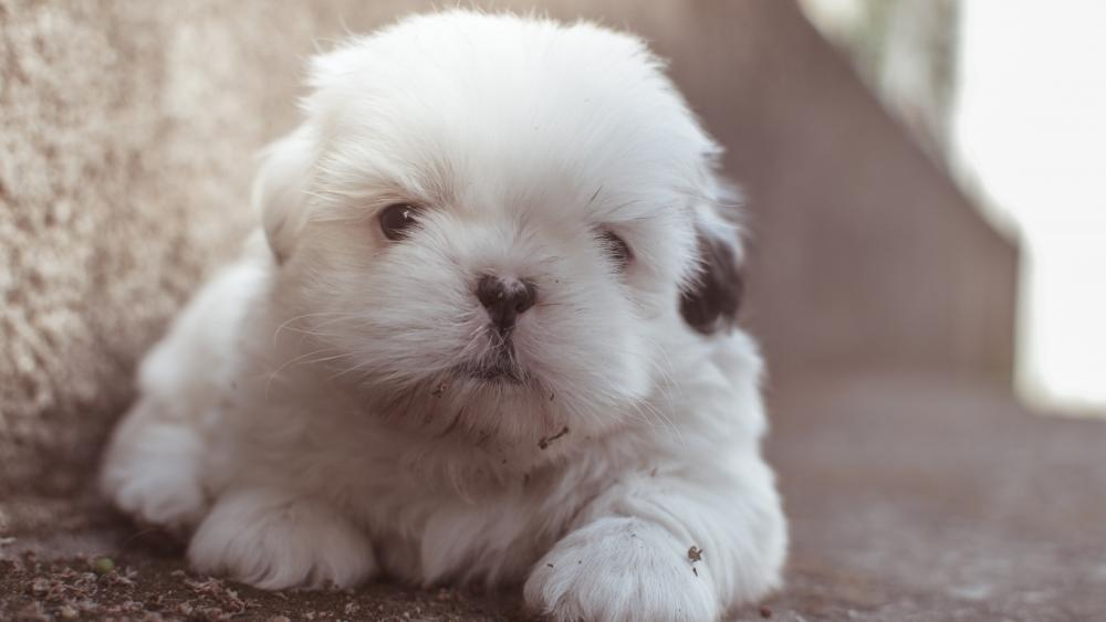 Cute long haired white puppy wallpaper