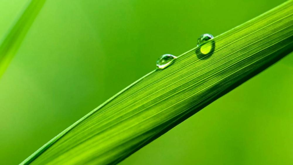 Dew drops on grass wallpaper