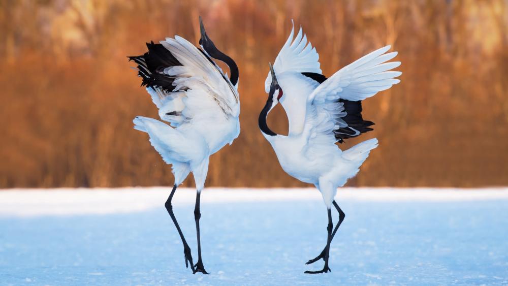 Red-crowned crane dance wallpaper