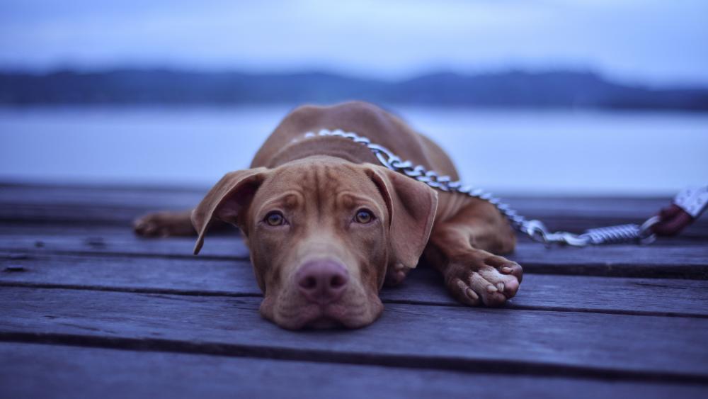 Sad dog wallpaper