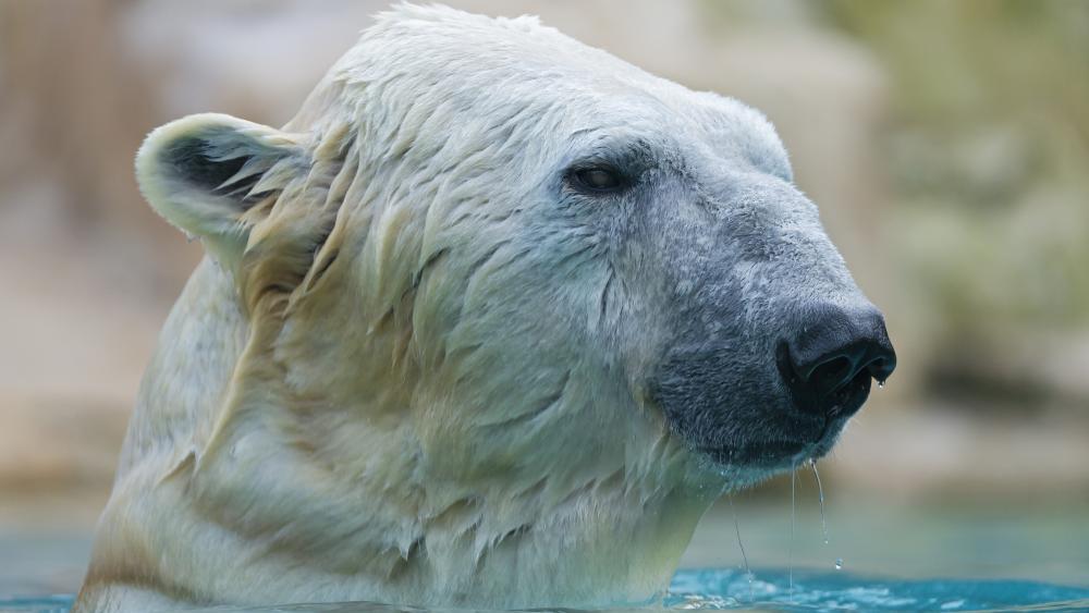 Wet polar bear wallpaper
