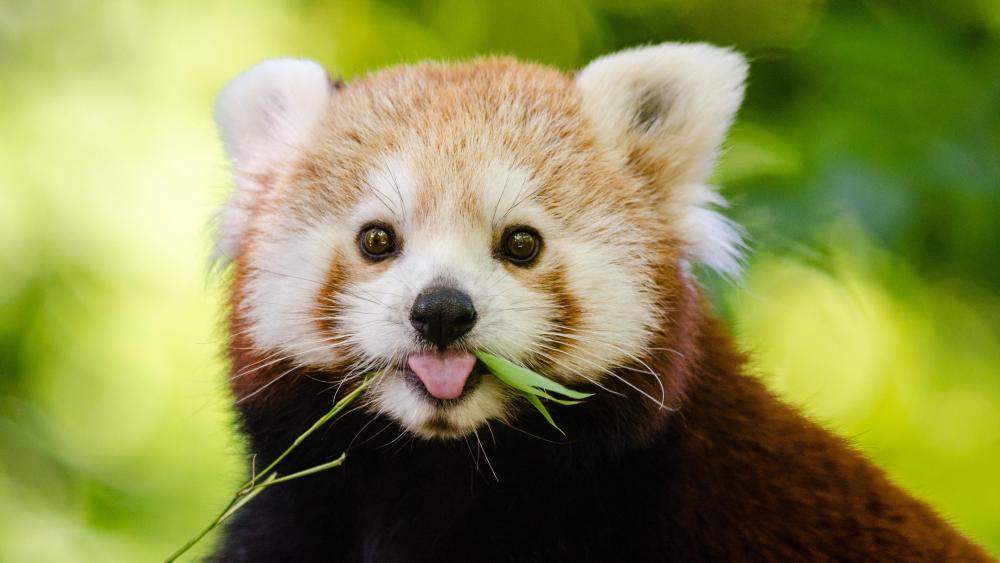 Adorable Red Panda wallpaper