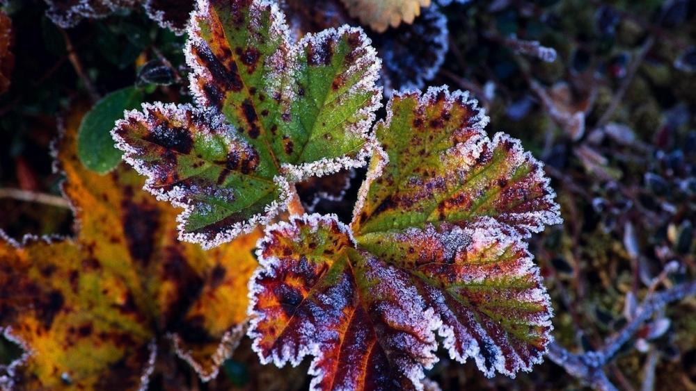 Hoary leaves wallpaper