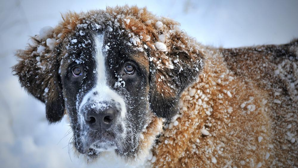 St. Bernard dog with snowy fur wallpaper