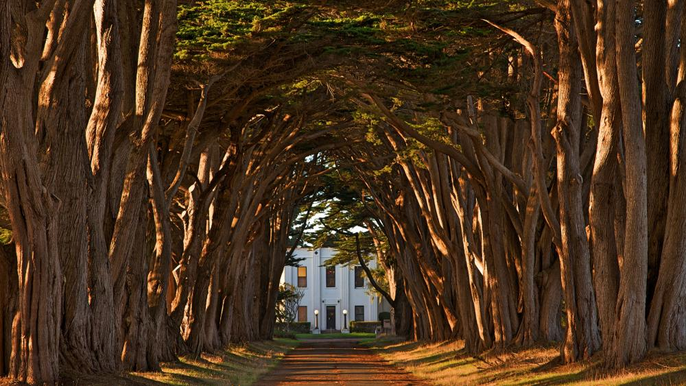 Point Reyes Cypress Tree Tunnel wallpaper