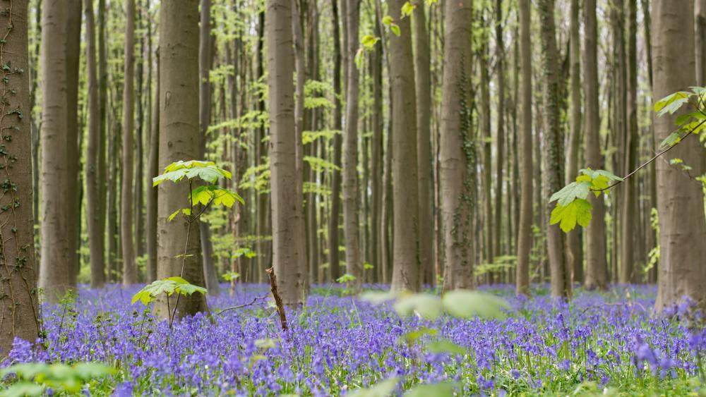 Bluebell blossom wallpaper
