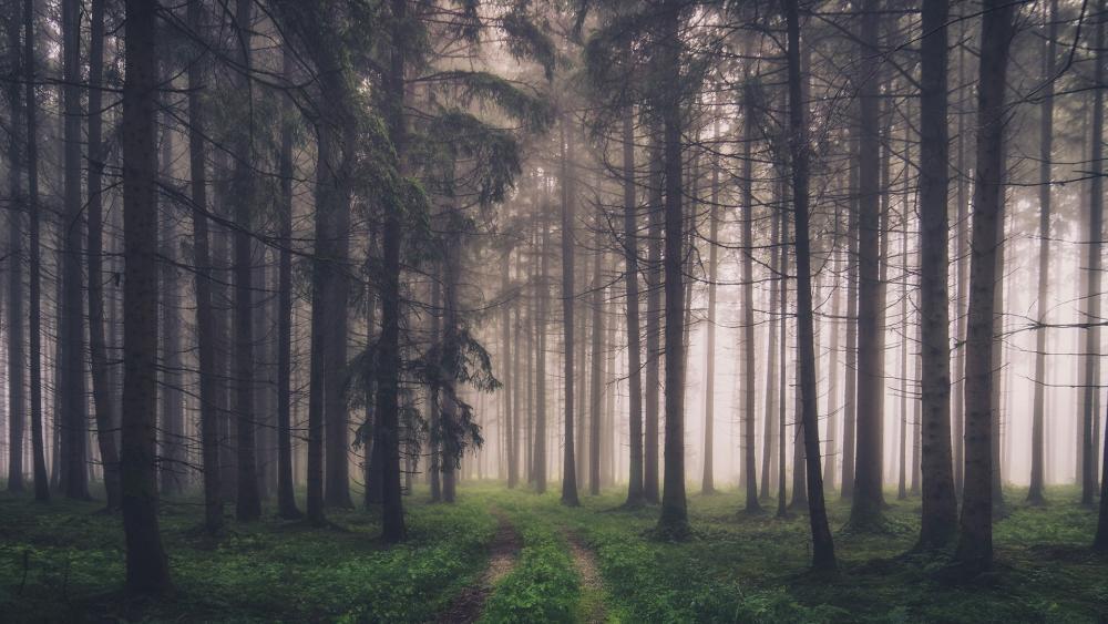 Dark forest path wallpaper