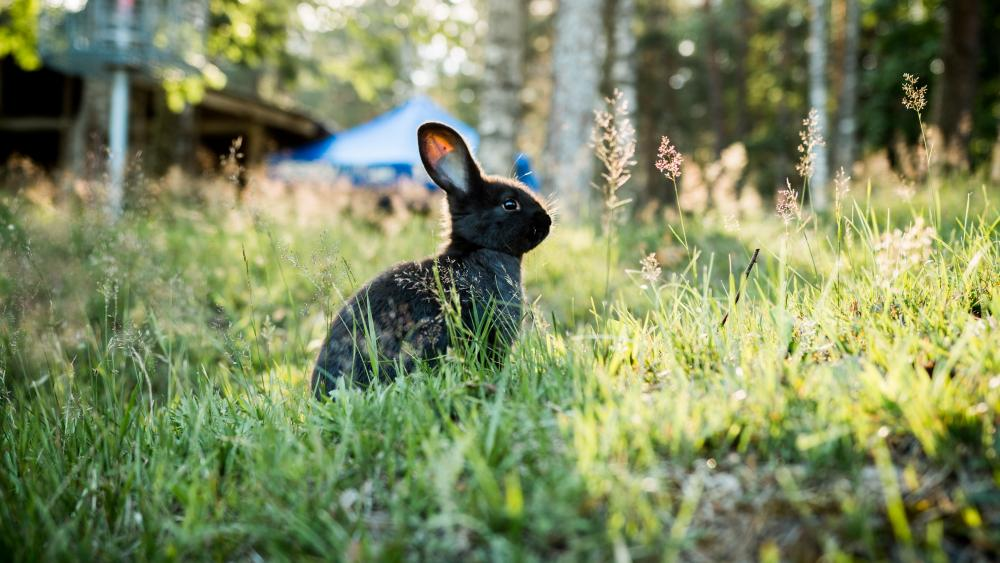 Black rabbit sitting in the grass wallpaper