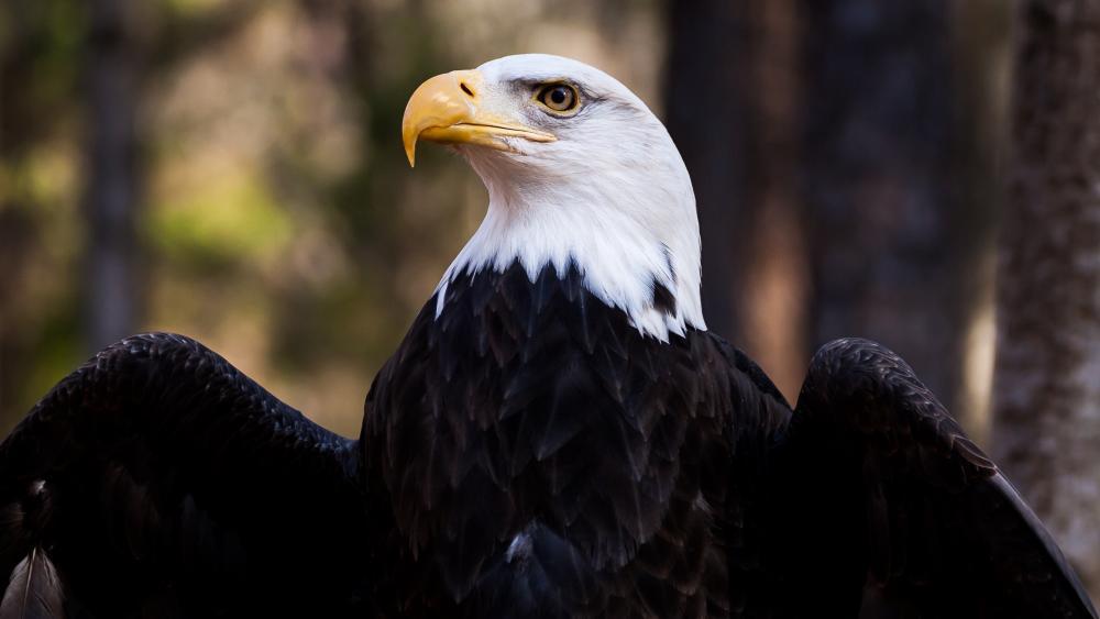 Bald Eagle  🦅 wallpaper