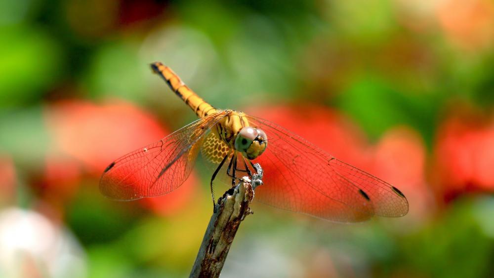 Dragonfly - Macro photography wallpaper