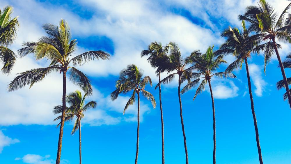 Palm trees and sky wallpaper