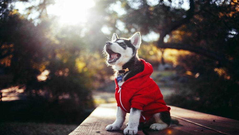 Husky puppy in red coat wallpaper