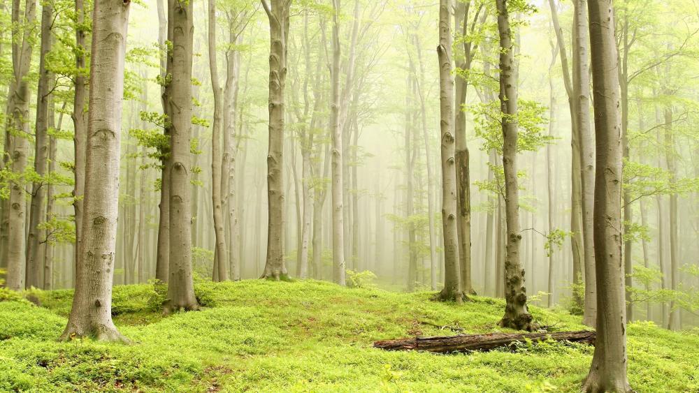 Misty spring forest wallpaper