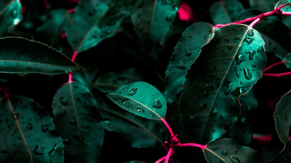 Morning dew on the green leaves wallpaper