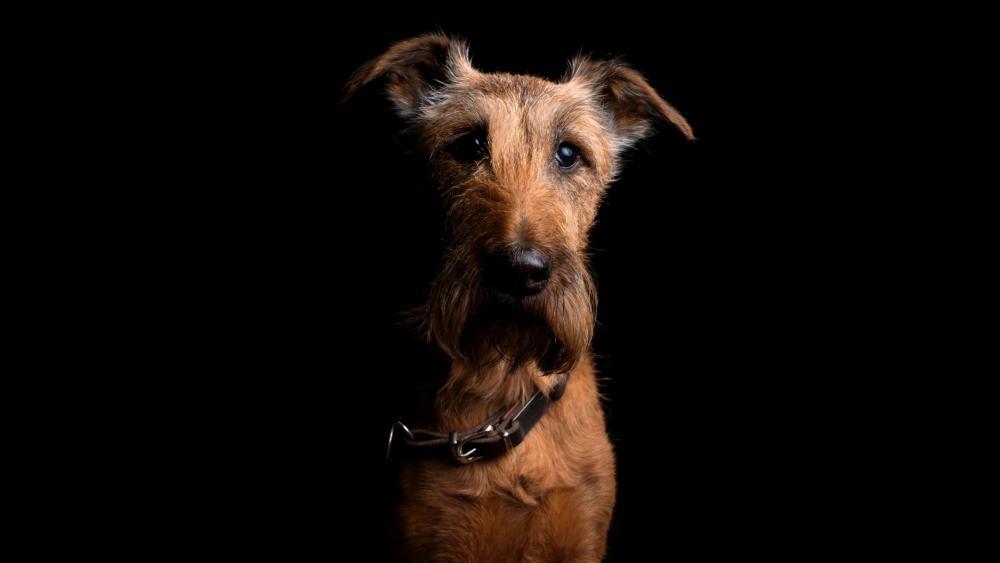 Irish Terrier wallpaper
