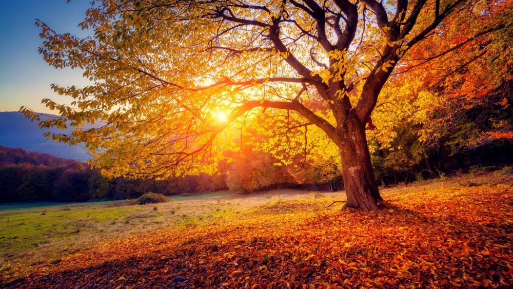 Fall tree in the morning sunlight wallpaper