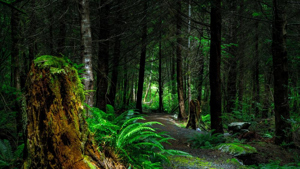 Ferns along the forest path wallpaper