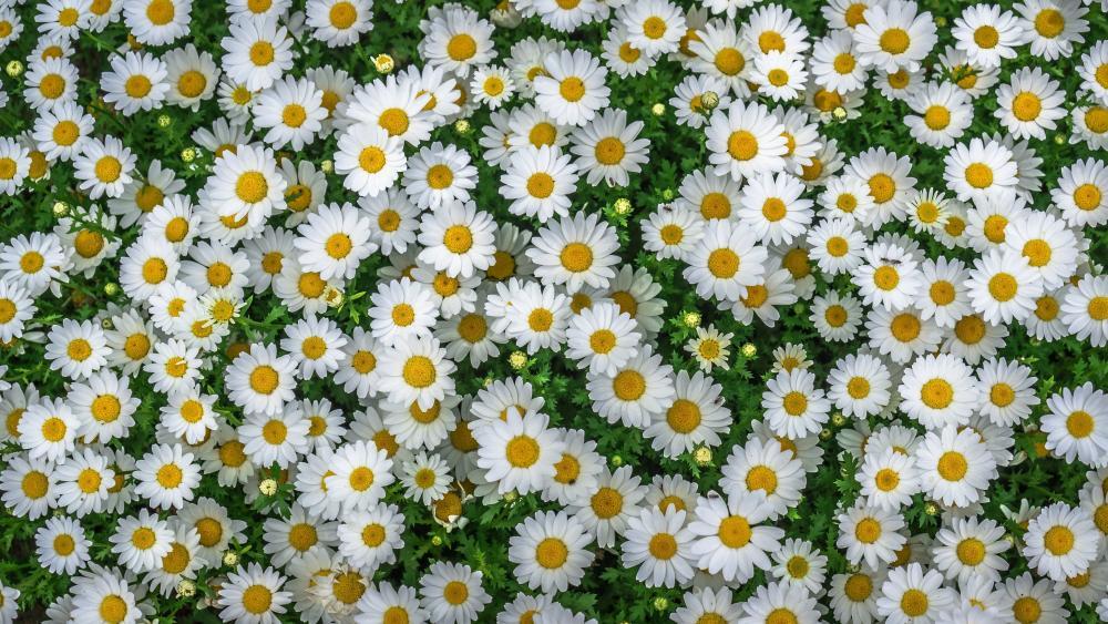 Camomile flower carpet wallpaper