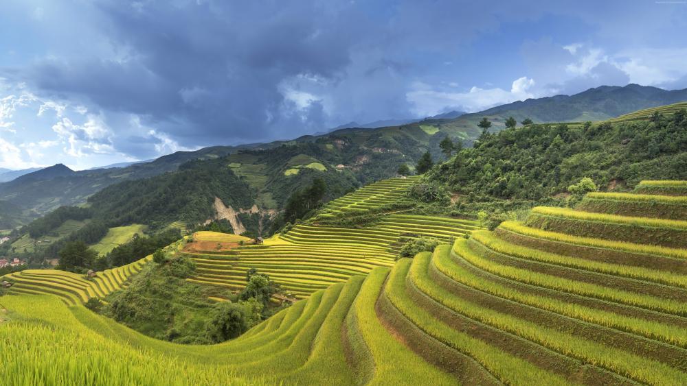 Vietnam rice field wallpaper
