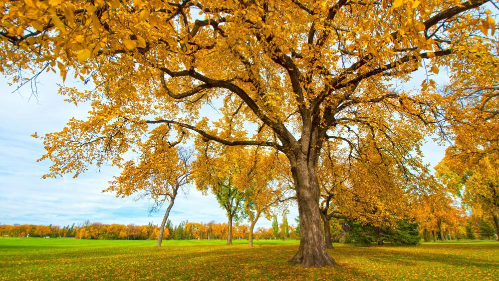 Yellow trees wallpaper